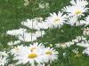 daisy-1-sahasrara.jpg