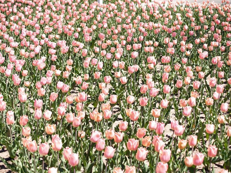 7 - Pink flowers P1019631.jpg