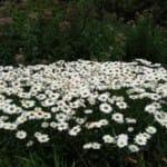 burlington-daisies-palleta-mansion