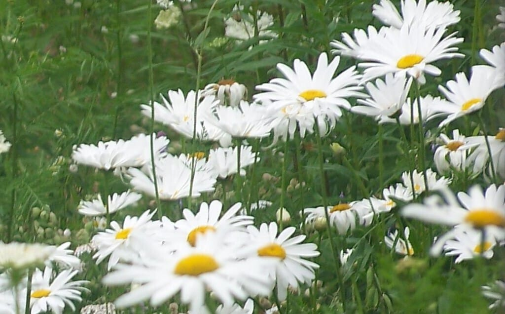 daisy-1-sahasrara