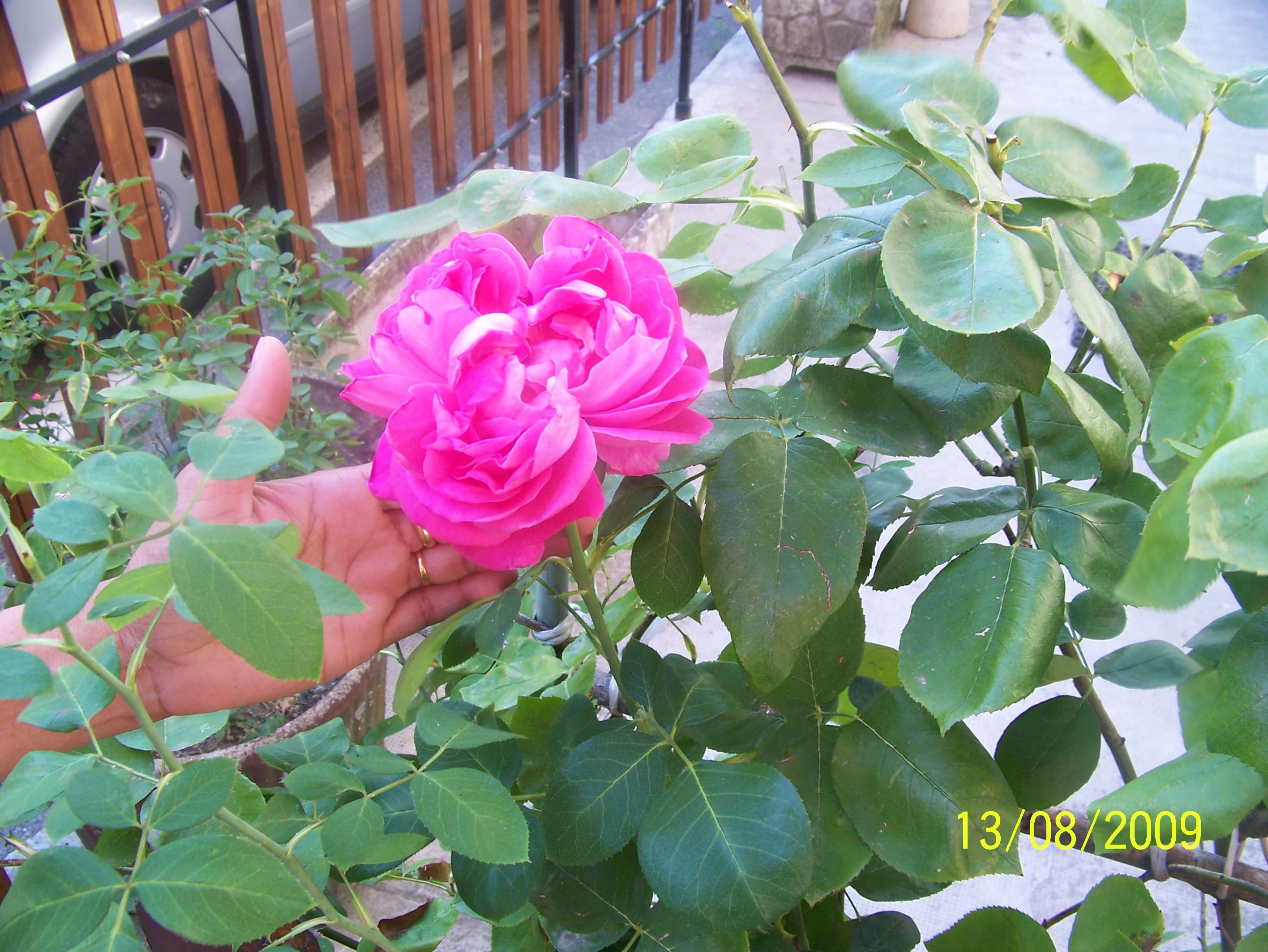 Trinity of Roses – Vibrant Fragrance from Cabella