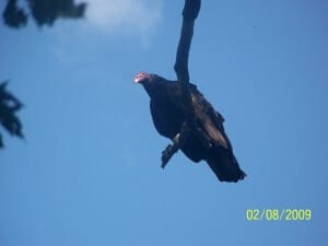 First close encounter with a Vulture