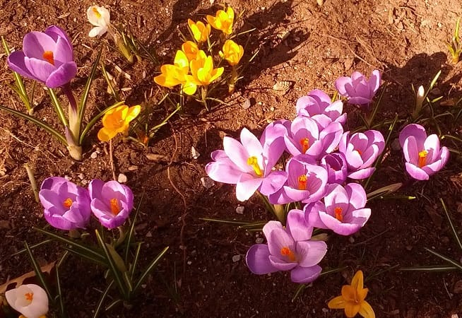 Spring Flowers at Niagara College-photo by Ioana