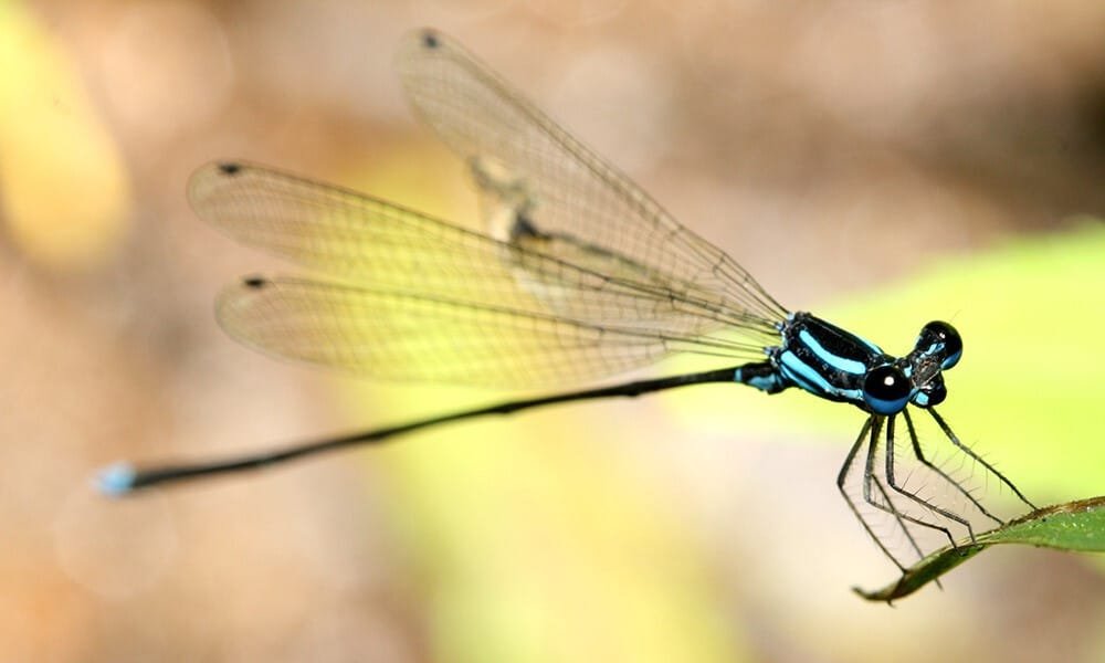 Blue DragonFly like Shri Matajis appeareance