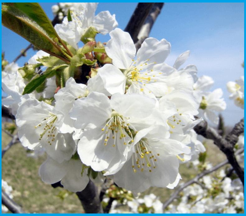 Bloomed Cherry tree - photo from Patine - French sahaja yogi