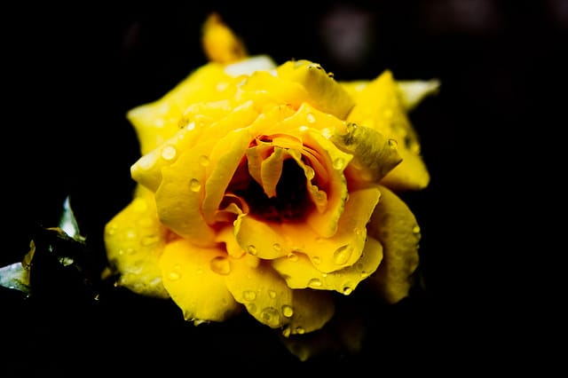 Cabella Rose Yellow-Omar