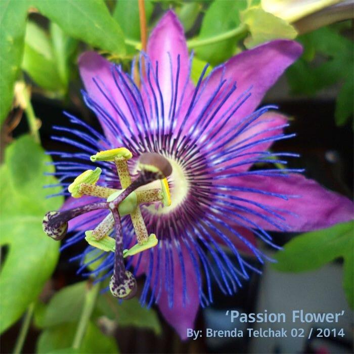 Pasion Flower - brenda