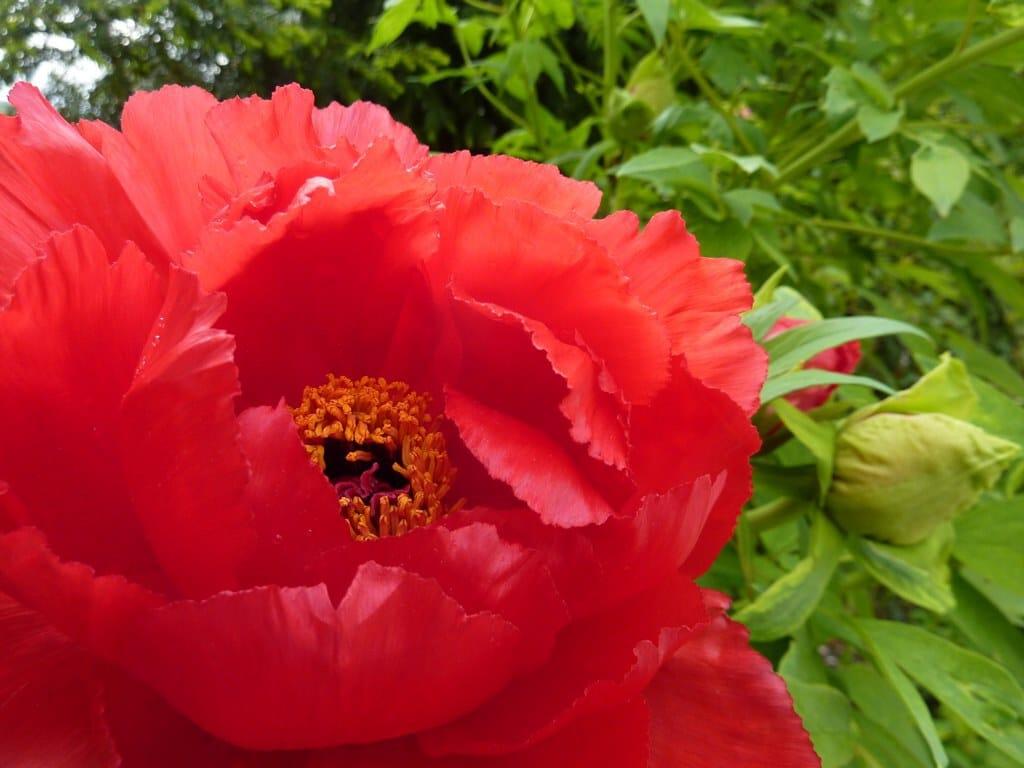 red flower from Cabella Italy - sahaja yoga international seminars