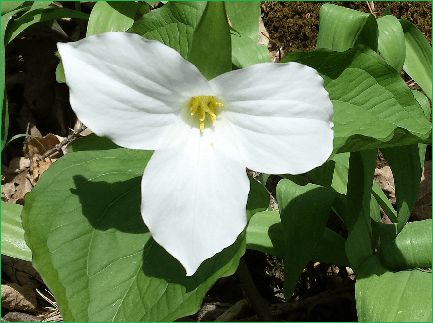 Trillium from Halton Conservation parks