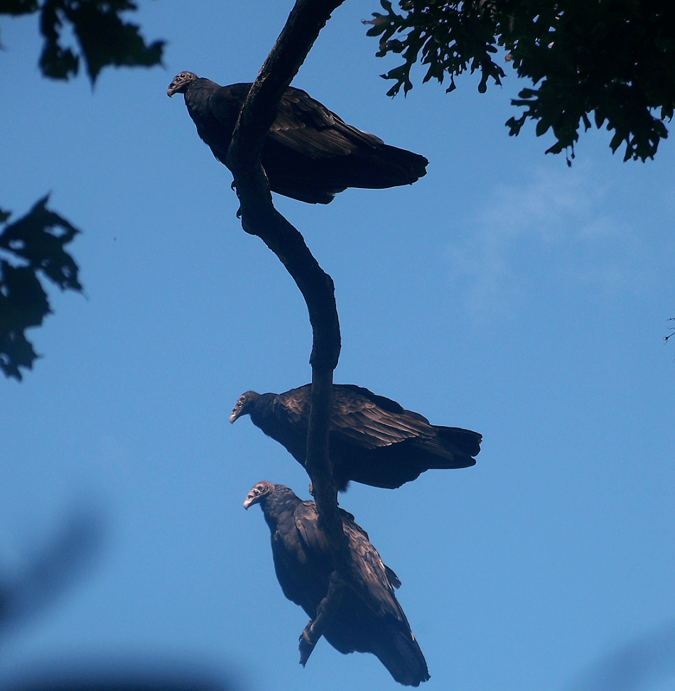 Three Vultures - Ioanas photo Crawford lake