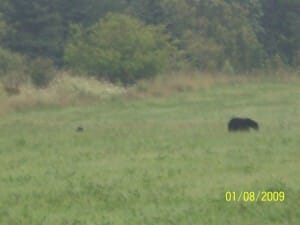 Mother Bear and cub - Tobermory Ontario - near the road