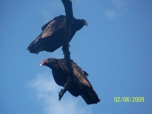 vulture-2-Burlington-Crawford Lake