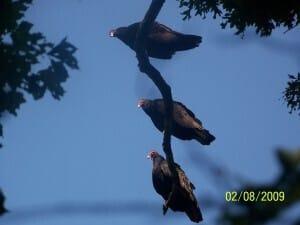 vulture-34