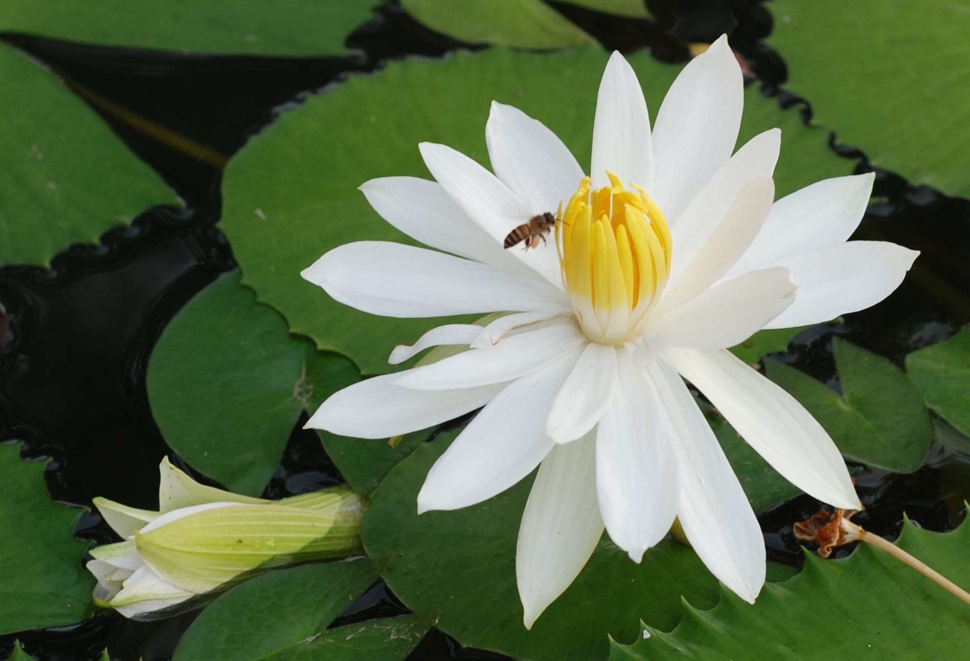 white-lotus-and-bee- Photo by Alvin- used with his permission