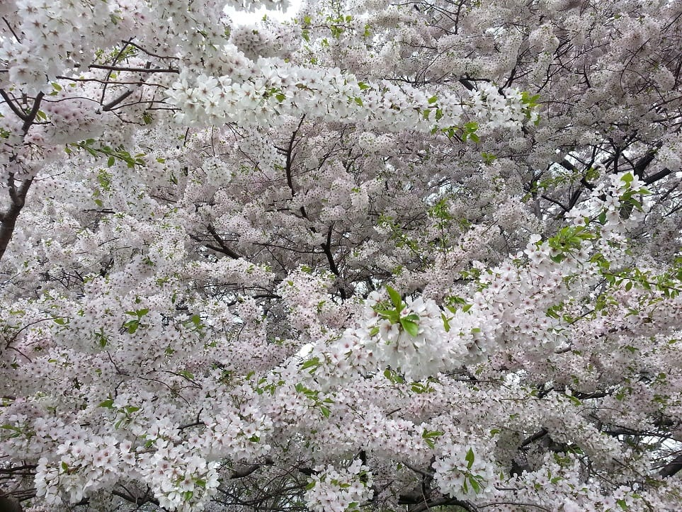 Blossom in Central Park - photo from Razvan