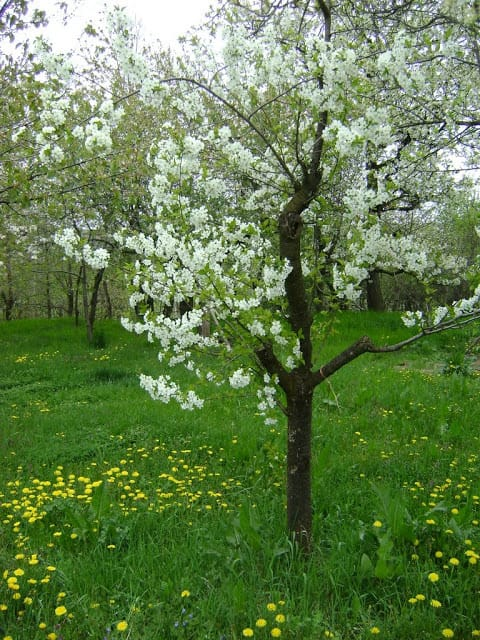 Young Tree in Blossom - photo by Anca from Oakville