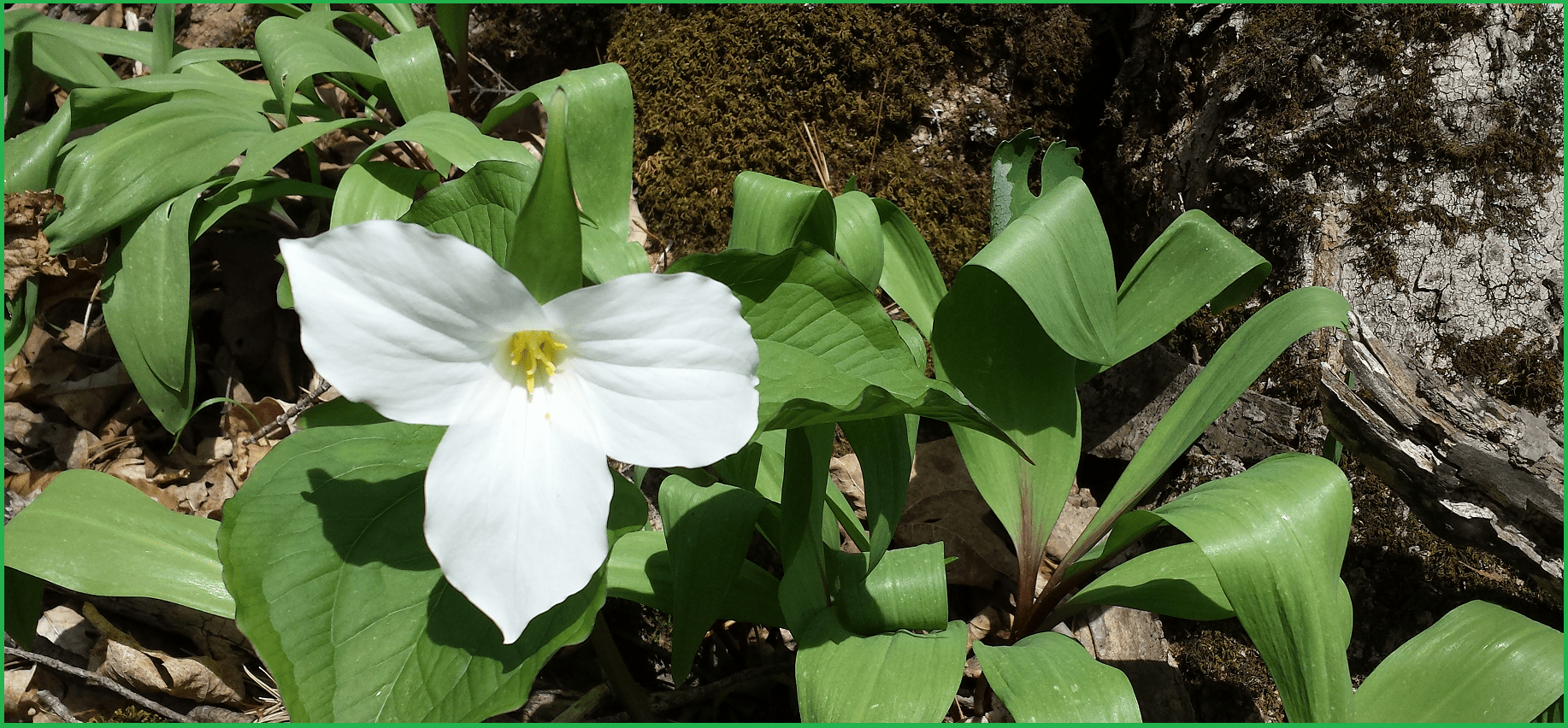 Trillieum at Crawford Lake-Halton region- phoot by Ioana