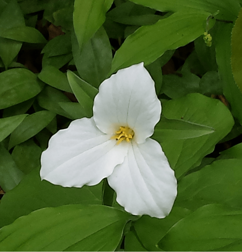 Trillium from Crawford lake - Burlington 2015 - photo by Ioana