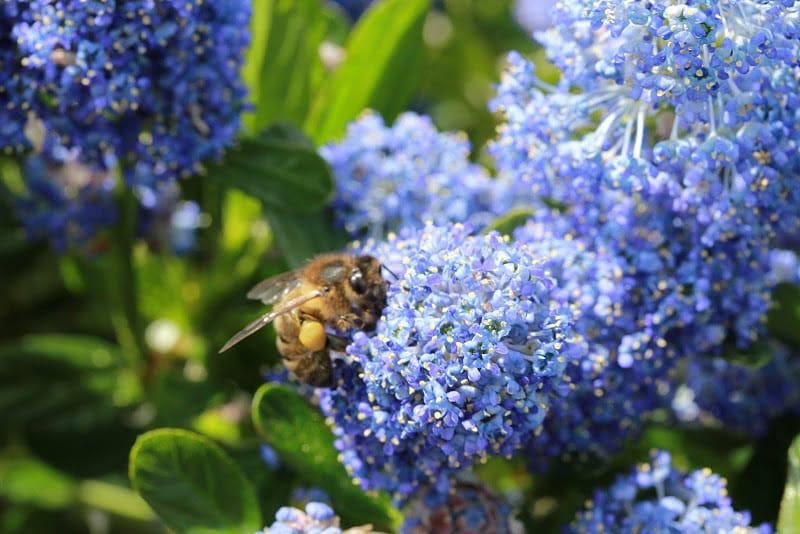 Bee - Blue flower by Jean Louis- France