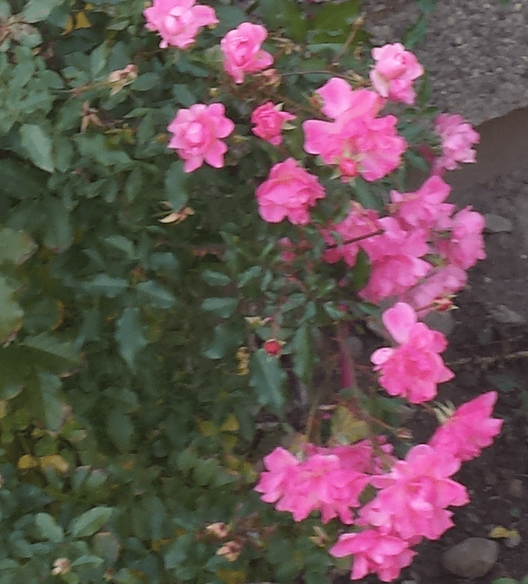 roses-in-november-from-our-garden